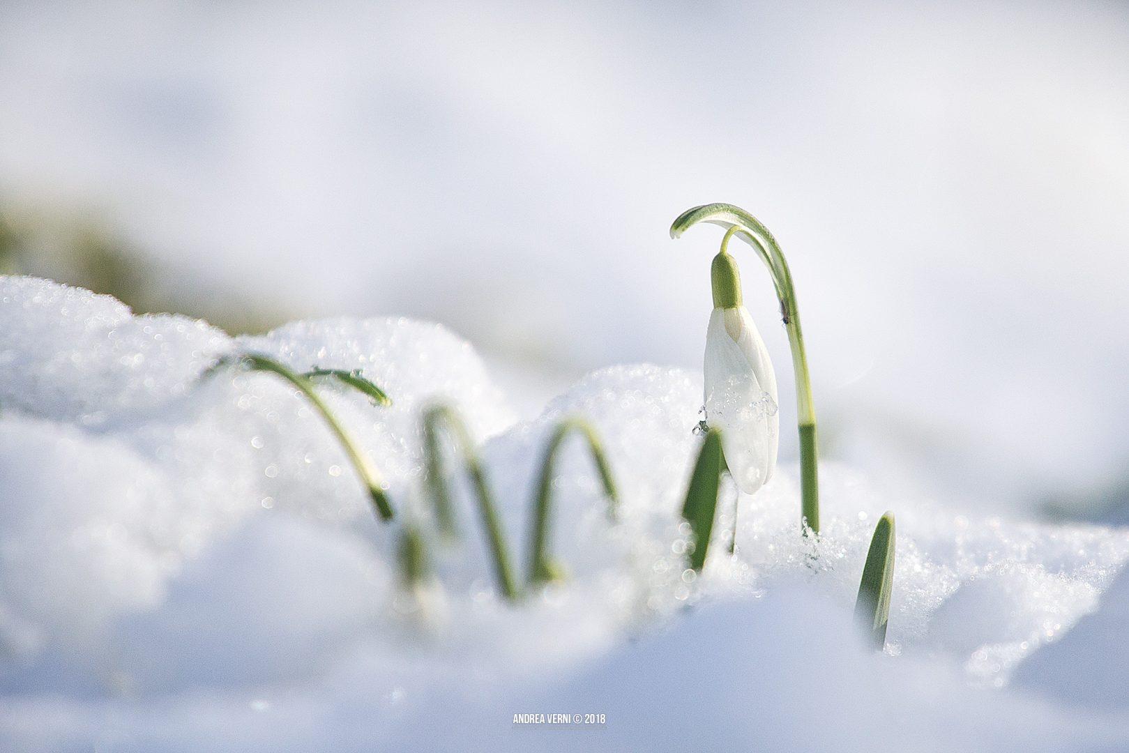 Lipica, Snowdrop